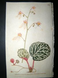 Curtis 1789 Hand Col Botanical Print. Strawberry Saxifrage 92